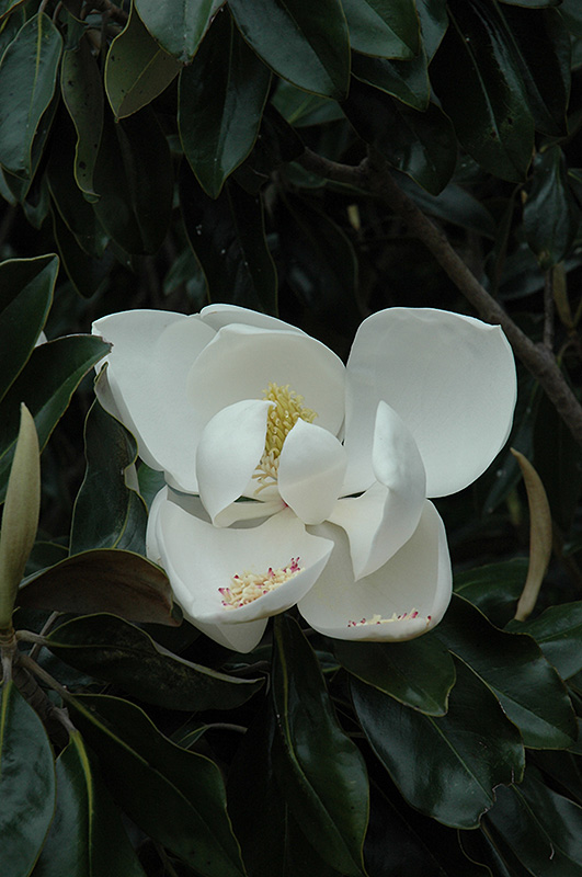 D D Blanchard Magnolia Magnolia Grandiflora D D