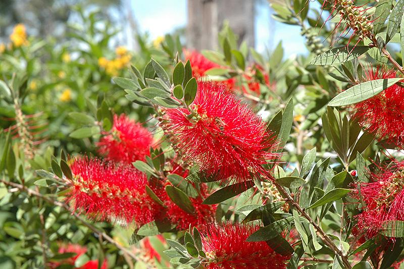 Crimson Bottlebrush Callistemon Citrinus In Greensboro