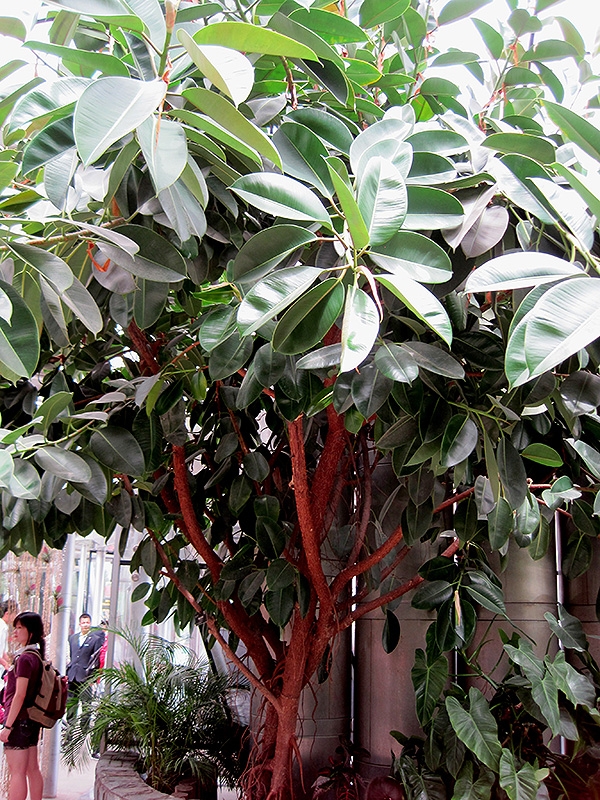 Rubber Tree Ficus Elastica In Greensboro High Point