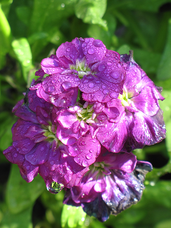 Harmony Purple Stock Matthiola Incana Harmony Purple