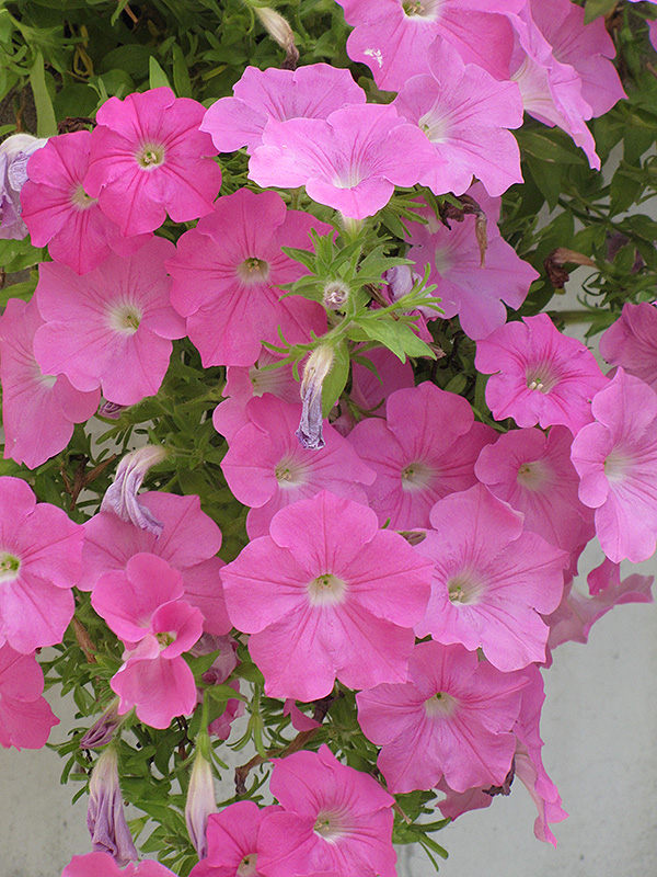 Wave Pink Petunia (Petunia 'Wave Pink') in Greensboro High ...