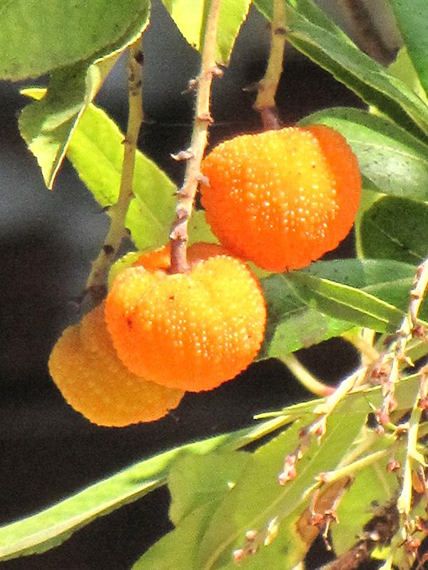 Marina Strawberry Tree Arbutus Marina In Greensboro