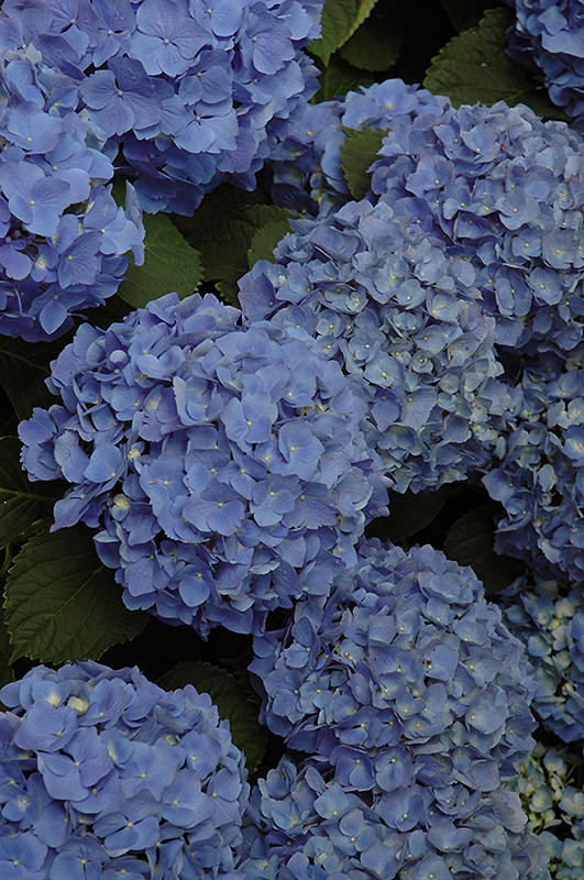Mathilda Gutges Hydrangea Macrophylla At New Garden Landscaping