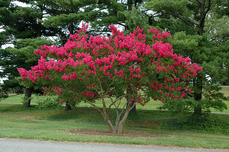 Dallas Red Emyrtle Lagerstroemia Indica At New Garden Landscaping