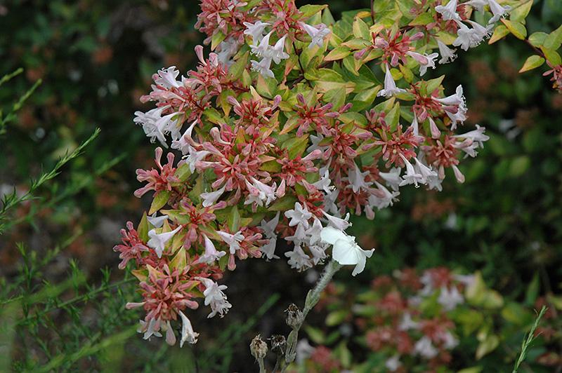 Frances Mason Abelia Abelia X Grandiflora Frances Mason In
