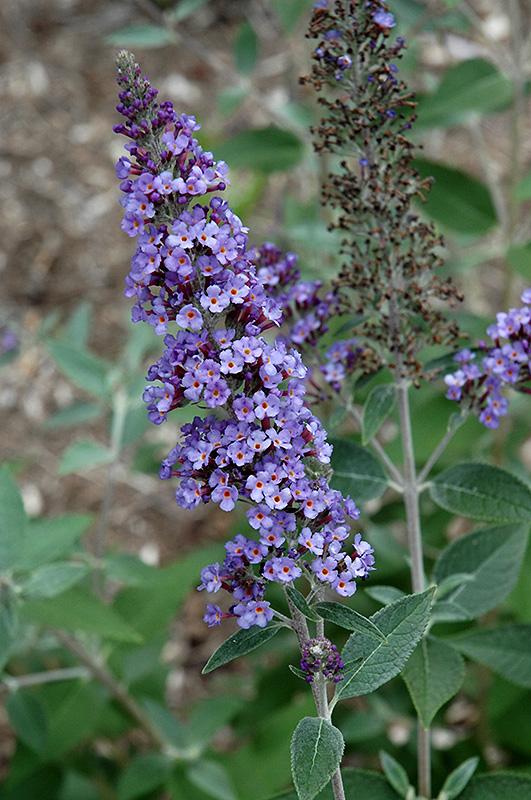 True Blue Butterfly Bush Buddleia True Blue In