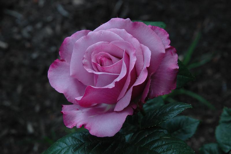 Neptune Rose Rosa Wekhilpurnil In Greensboro High