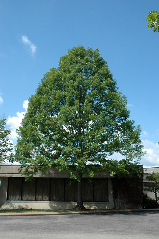 Nuttall S Oak Quercus Texana In Greensboro High Point