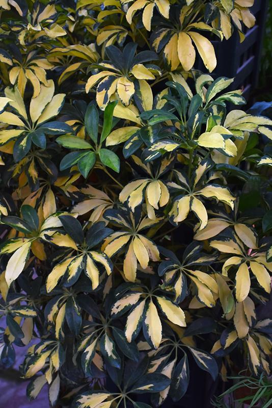 Trinette Variegated Schefflera Arboricola At New Garden Landscaping Nursery