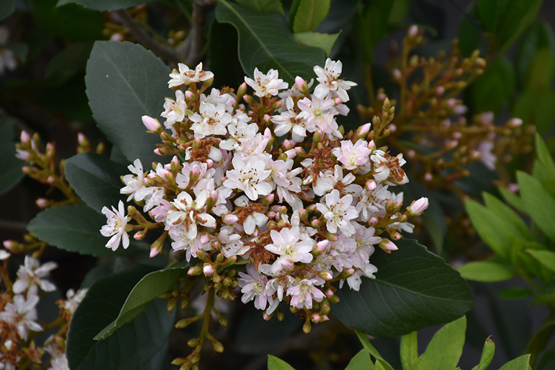 Majestic Beauty Indian Hawthorn Rhaphiolepis Montic In