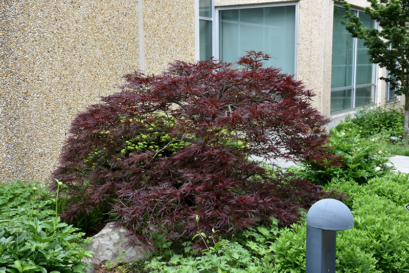 Red Dragon Japanese Maple Acer Palmatum Red Dragon In