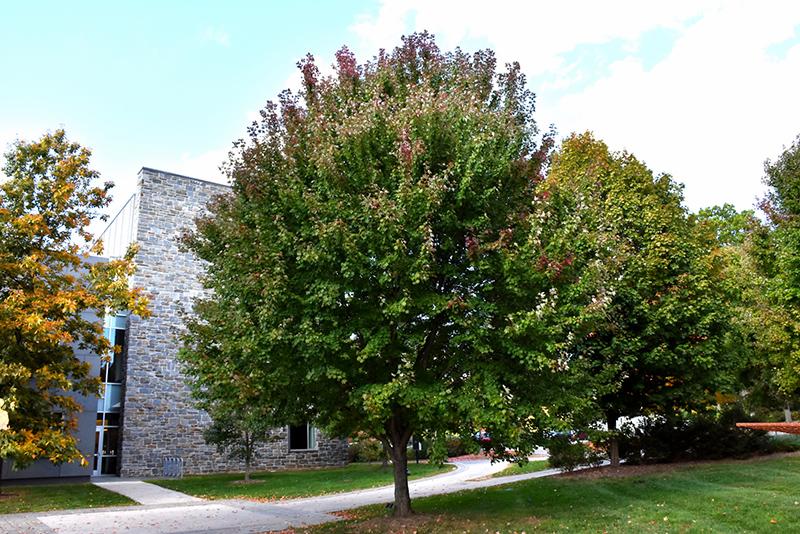 Brandywine Red Maple Acer Rubrum Brandywine In