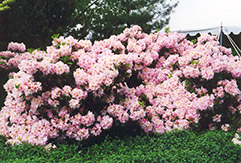 English Roseum Rhododendron (Rhododendron catawbiense 'English Roseum') at New Garden Landscaping & Nursery