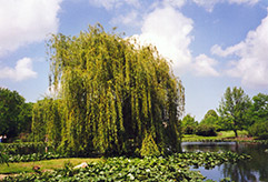 Golden Weeping Willow (Salix alba 'Tristis') at New Garden Landscaping & Nursery