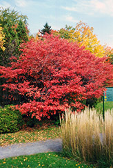 Shadblow Serviceberry (Amelanchier canadensis) at New Garden Landscaping & Nursery