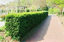 Common Boxwood (Buxus sempervirens) at New Garden Landscaping & Nursery