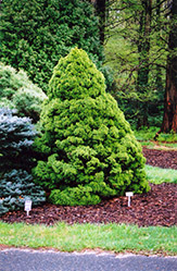 Dwarf Alberta Spruce (Picea glauca 'Conica') at New Garden Landscaping & Nursery