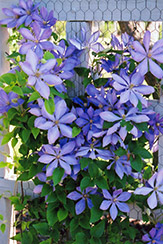 Mrs. Cholmondeley Clematis (Clematis 'Mrs. Cholmondeley') at New Garden Landscaping & Nursery