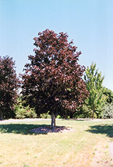 Royal Red Norway Maple (Acer platanoides 'Royal Red') at New Garden Landscaping & Nursery