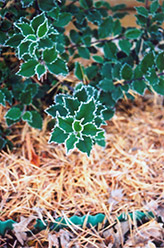 Blue Boy Meserve Holly (Ilex x meserveae 'Blue Boy') at New Garden Landscaping & Nursery