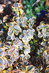 Canadale Gold Wintercreeper (Euonymus fortunei 'Canadale Gold') at New Garden Landscaping & Nursery