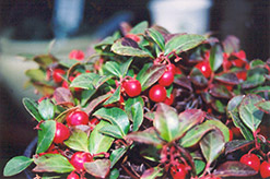 Creeping Wintergreen (Gaultheria procumbens) at New Garden Landscaping & Nursery