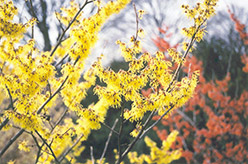 Arnold Promise Witchhazel (Hamamelis x intermedia 'Arnold Promise') at New Garden Landscaping & Nursery