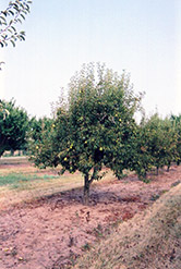 Bartlett Pear (Pyrus communis 'Bartlett') at New Garden Landscaping & Nursery