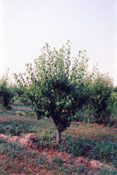 Anjou Pear (Pyrus communis 'Anjou') at New Garden Landscaping & Nursery