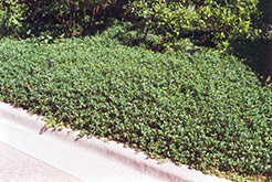 Bowles Periwinkle (Vinca minor 'Bowles') at New Garden Landscaping & Nursery