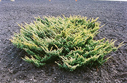 Japanese Garden Juniper (Juniperus chinensis 'Procumbens') at New Garden Landscaping & Nursery