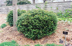 Brown's Yew (Taxus x media 'Brownii') at New Garden Landscaping & Nursery