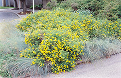 Goldfinger Potentilla (Potentilla fruticosa 'Goldfinger') at New Garden Landscaping & Nursery