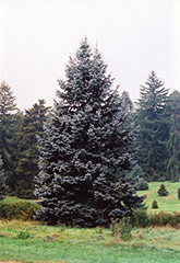 Hoopsii Blue Spruce (Picea pungens 'Hoopsii') at New Garden Landscaping & Nursery