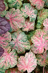 Snowfire Coral Bells (Heuchera sanguinea 'Snowfire') at New Garden Landscaping & Nursery