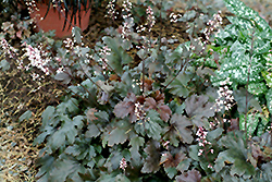Chocolate Lace Foamy Bells (Heucherella 'Chocolate Lace') at New Garden Landscaping & Nursery