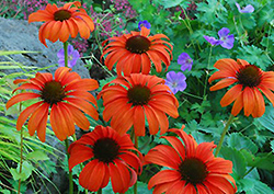 Tangerine Dream Coneflower (Echinacea 'Tangerine Dream') at New Garden Landscaping & Nursery