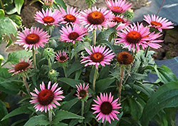 Lilliput Dwarf Coneflower (Echinacea purpurea 'Lilliput') at New Garden Landscaping & Nursery