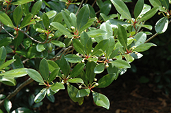 Japanese Cleyera (Cleyera japonica) at New Garden Landscaping & Nursery