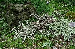 Japanese Painted Fern (Athyrium nipponicum 'Pictum') at New Garden Landscaping & Nursery