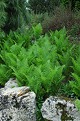 Ostrich Fern (Matteuccia struthiopteris) at New Garden Landscaping & Nursery
