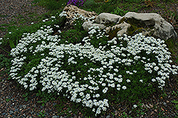 Candytuft (Iberis sempervirens) at New Garden Landscaping & Nursery