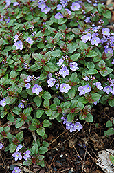 Waterperry Blue Speedwell (Veronica 'Waterperry Blue') at New Garden Landscaping & Nursery