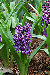 Atlantic Hyacinth (Hyacinthus orientalis 'Atlantic') at New Garden Landscaping & Nursery
