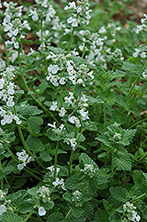 Snowflake Catmint (Nepeta x faassenii 'Snowflake') at New Garden Landscaping & Nursery