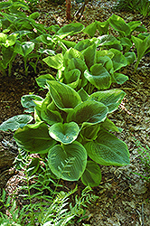 Frances Williams Hosta (Hosta 'Frances Williams') at New Garden Landscaping & Nursery