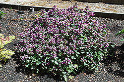 Beacon Silver Spotted Dead Nettle (Lamium maculatum 'Beacon Silver') at New Garden Landscaping & Nursery