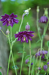 Dark Purple Barlow Columbine (Aquilegia vulgaris 'Dark Purple Barlow') at New Garden Landscaping & Nursery
