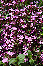 Rock Soapwort (Saponaria ocymoides) at New Garden Landscaping & Nursery