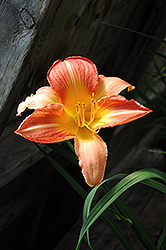Ann Werner Daylily (Hemerocallis 'Ann Warner') at New Garden Landscaping & Nursery